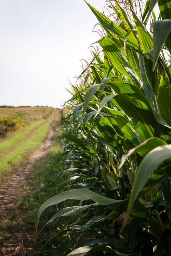 corn maze raleigh