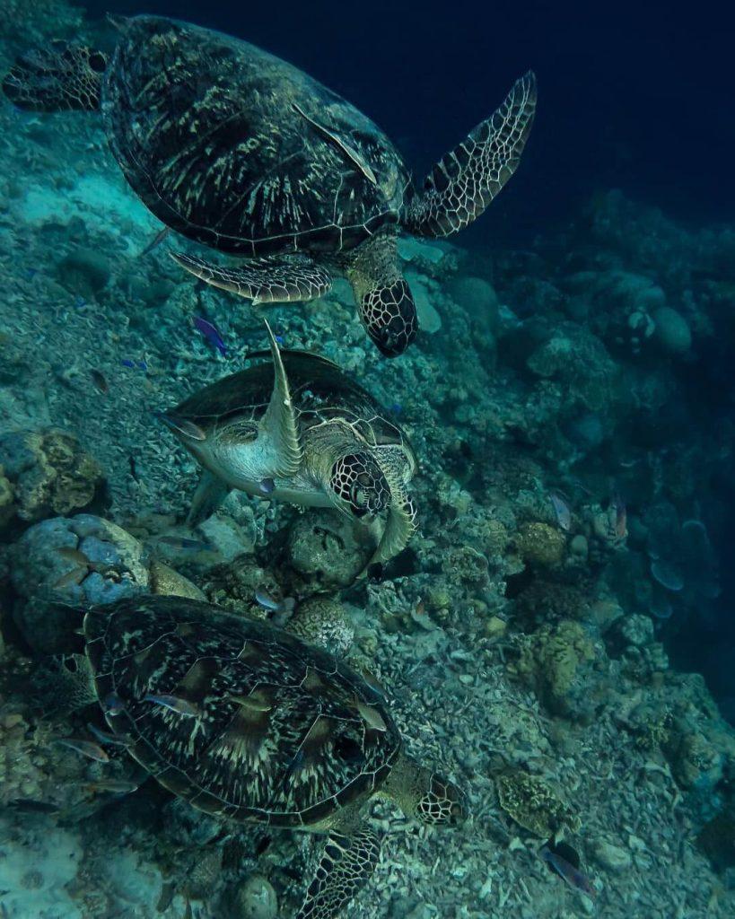 turtles moalboal